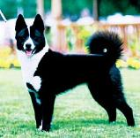 Karelian Bear Dog