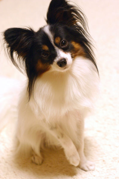papillion puppies papillon 8771