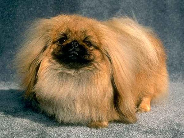 Pomeranian Puppies also Florida Teacups And Toys moreover 706603 Kennel Club Registered Red Toy Poodles Sutton in addition 653890 Adorable Miniaturetoy Poodle X Shih Tzu Puppies Cannock together with Havanese. on tiny toy poodle adoption