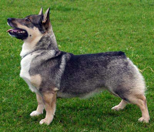 Mixers Mixers Vicking Vs Wolf ~ Swedish vallhund